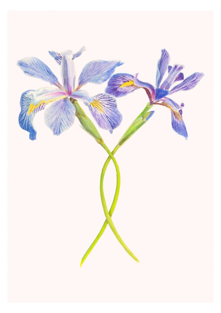 'Iris Virginica' watercolour and gouache painting on digital background.